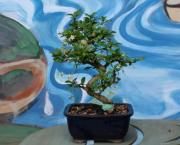 """8"""" Fukien Tea - Silver Bonsai Gallery"""