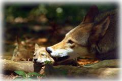 Red Wolf dad chewing on pup's ear