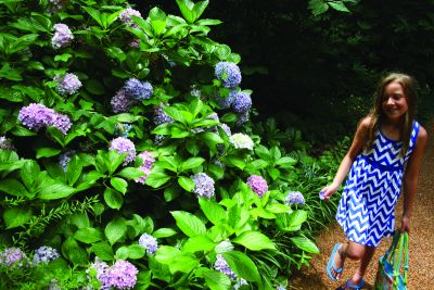 Hydrangeas at The Elizabethan Gardens in Manteo, NC
