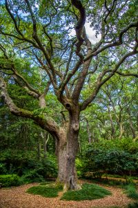 Ancient Live Oak thought to have been a witness to the time of the lost colonist of Roanoke Island in 1587.